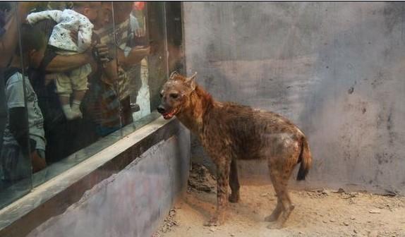 狼在动物分类中的位置